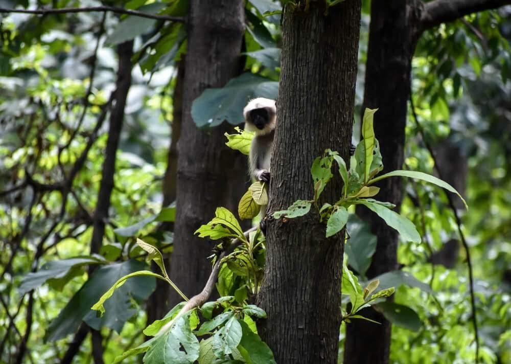 langurs+dandeli+wildlife+dandeli+jungle+karnataka.jpg