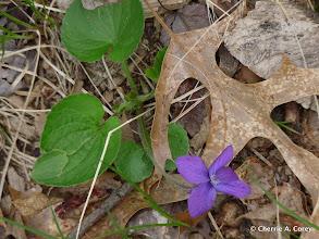 Photo: Common blue violet