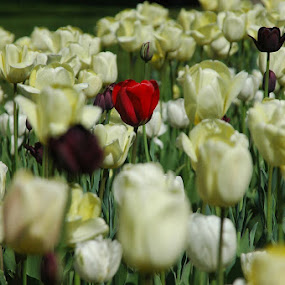 One of a kind by Wayne Paton - Nature Up Close Flowers - 2011-2013 ( red, one, tulip, alone, lonely, flower )