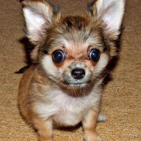 little by Oleg Verjovkin - Animals - Dogs Puppies ( puppies, little, chihuahua, pwcpuppies )