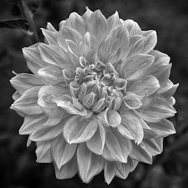 Bloom by Marco Bertamé - Black & White Flowers & Plants ( blooming, petals, summer, bloom, dadlia )