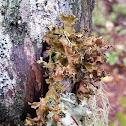 Fringed wrinkle lichen
