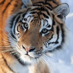 tiger in sun.jpg