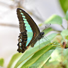 Common Bluebottle / Blue Triangle
