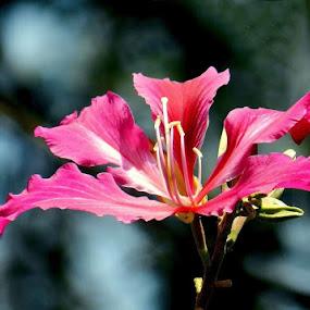 by Jagadeesh Mummigatti - Flowers Single Flower