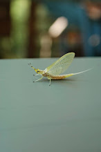 Photo: This is a hexeginia mayfly.  If you build a pond or lake bottom exactly right, they will live in tunnels and clean the water at no extra charge.  Yes trout love them, too!