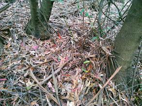 Photo: The eucalyptus bark increases the native ground fuel.