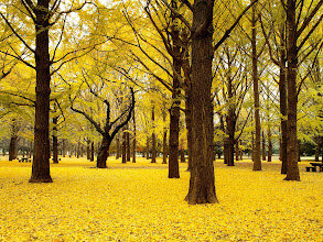 Photo: http://bit.ly/GLIb1l : golden forest in japan