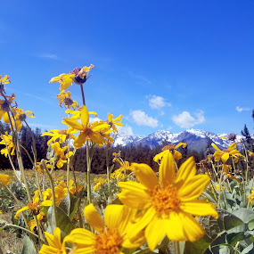 Yellow sunflowers all over in the Tetons by LaDonna McCray - Flowers Flowers in the Wild ( wildflowers, mountains, flowers in the wild, sunflowers, yellow, flowers, tetons,  )
