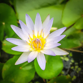 Water Lilly by Mario Borg - Uncategorized All Uncategorized ( water, flower )