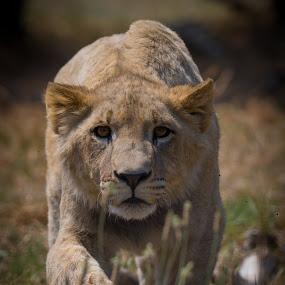 Stalker by Dawie Nolte - Animals Lions, Tigers & Big Cats ( big cat, young lion, lion, cat, african lion, eyes, stalker,  )