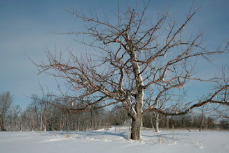 """Photo: The original 'Honeycrisp' apple tree, located at the University of Minnesota's Horticultural Research Center, and photographed in winter. Developed by the University of Minnesota, Agricultural Experiment Station. Project #21-016, """"Breeding and Genetics of Fruit Crops for Cold Climates."""" Principal investigator: James J. Luby; scientist, David Bedford. Released in 1991.  Excellent fresh eating, explosively crisp and juicy, unusually long storage life.  Ripens the last week of September in Minnesota."""