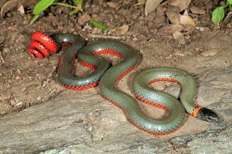 Photo: Ring-neck Snake - Battey