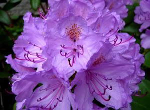 Photo: Rhododendron im Dompark.