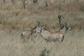 Photo: Kruger National Park. Roan