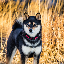 Dexter on Point by Chad Roberts - Animals - Dogs Portraits ( shiba inu, dexter, male, pup, puppy, dog, black and tan )