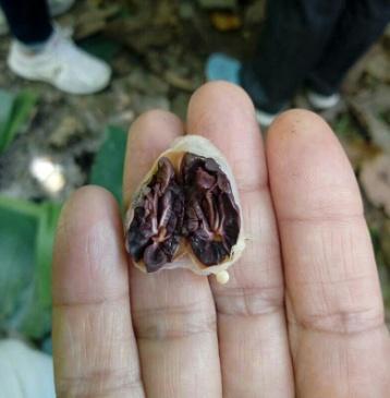 cacao trinitario