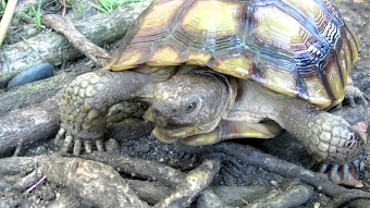Turtle and Therapod Race/Hungry, Hungry Carnivores