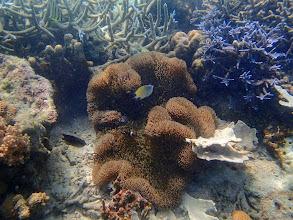 Photo: Stichodactyla gigantea (Giant Carpet Anemone), Amphiprion ocellaris (Ocellaris Clownfish), Chindonan Island, Palawan, Philippines.