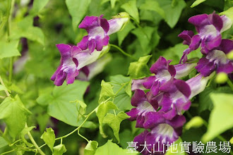 Photo: 拍攝地點: 梅峰-溫帶花卉區 拍攝植物: 蔓玄蔘 拍攝日期:2012_05_26_FY