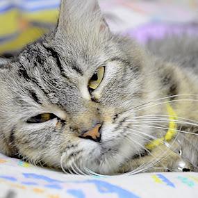 sleepy by Azman Jaeh - Animals - Cats Portraits