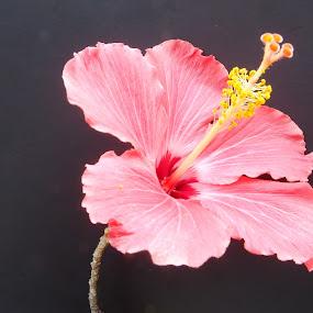 pistil by Jean-Pierre Machet - Flowers Single Flower ( fleur, pistil, flower,  )