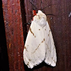 Light Ermine Moth