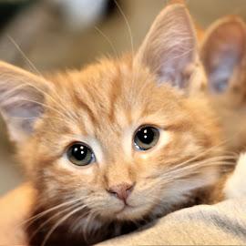 Ruff by Linda    L Tatler - Animals - Cats Kittens ( kitten, domestic short hair, cat, orange tabby, pet, male kitten )