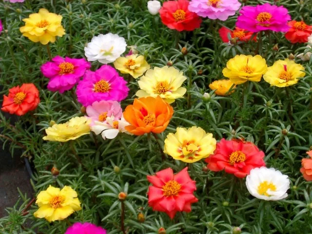 trồng hoa mười giờ lai với hệ thống tưới