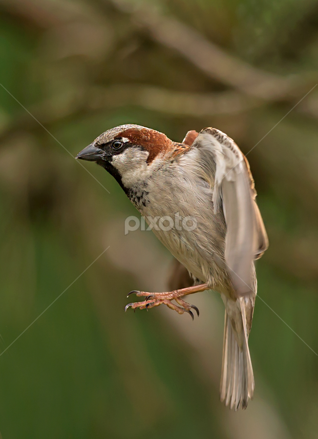passer by Dragomir Taborin - Animals Birds