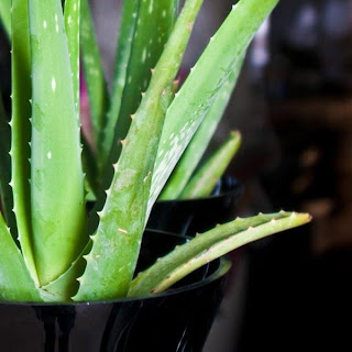 How To Use Aloe Vera For Hair.
