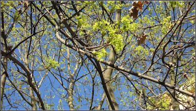 Photo: Arțar, paltin de câmp (Acer platanoides) - de pe Calea Victoriei, Mr.3, spatiu verde - 2017.03.27