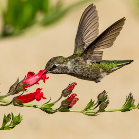 Hummingbird by Jim Malone - Animals Birds ( anna hummingbird, hummingbird )