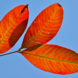 Three red winter leaves by Francois Wolfaardt - Nature Up Close Leaves & Grasses ( sky, winter, red, nature, blue, three, leaves )