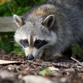 Curious Raccoon Again by T.J. Wolsos - Animals Other Mammals ( racoon, wild animal, curious animal, raccoon, animal )