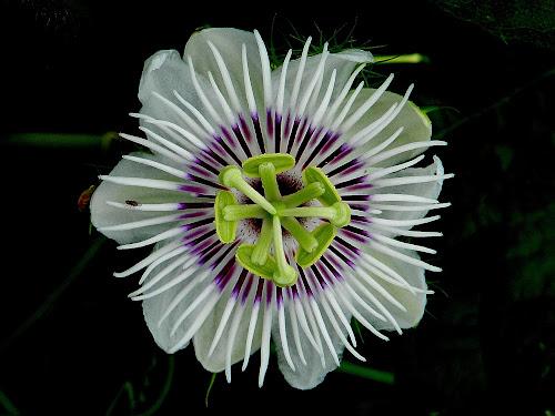 A single wild flower. by Govindarajan Raghavan - Flowers Single Flower (  )
