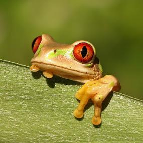 Natal Forest Tree Frog by David Knox-Whitehead - Animals Amphibians ( macro, frog, green, tree frog, eyes,  )