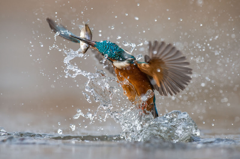 the kingfisher di Rickytre