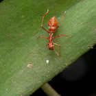 Red Ant Mimic Spider - Female