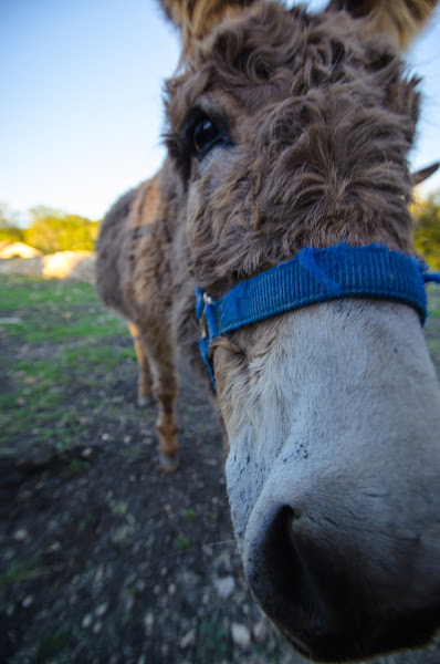 Photo: The mule came over to say hi