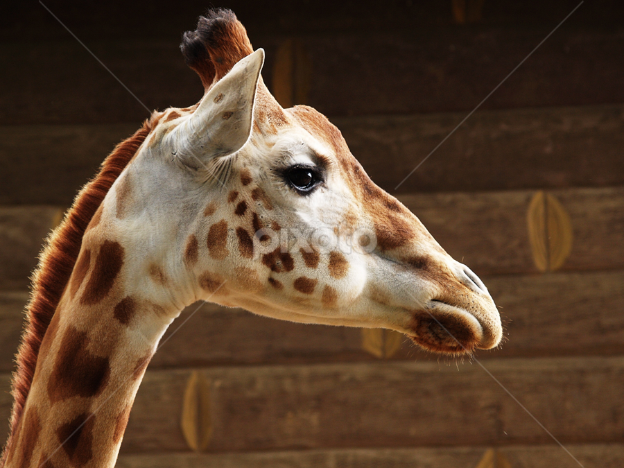Giraffe on Safari, headshot by Emily Fnm3d - Animals Other Mammals ( nobody, wood, side view, photography, close-up, savannah, color image, giraffe, animal head, horizontal, outdoors, looking at camera, animals and pets, african wildlife, head, africa, tall, profile, safari animals )