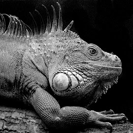 Le profil du dragon by Gérard CHATENET - Black & White Animals
