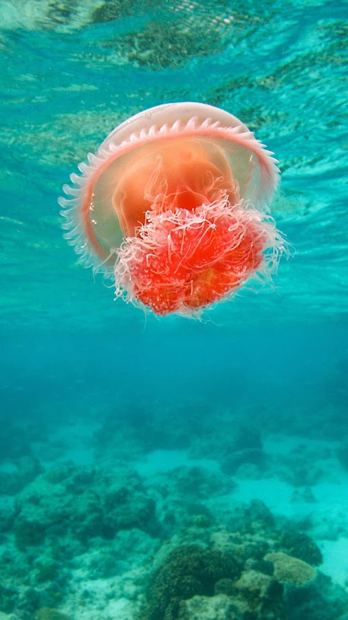 Jellyfish Live Wallpaper- screenshot