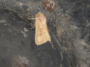 Photo: 26 Jul 13 Priorslee Lake: The furry head helps identify this as moth with the name 'The Clay'. (Ed Wilson)