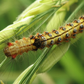 Caterpillar by Joe Joe - Animals Insects & Spiders