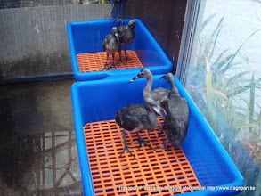Photo: young scarlet ibisses can be raised in plastic baskets using plastic floorings for easy maintenance and cleaning.