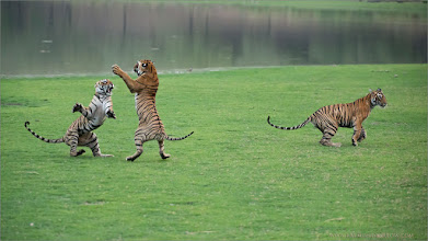 Photo: The Tiger Sisters Dance (and the brother makes a run for it!)  Raymond's India Photo Tours. Happy New Year!  ray@raymondbarlow.com Nikon D800 ,Nikkor 200-400mm f/4G ED-IF AF-S VR 1/2500s f/4.0 at 210.0mm iso5000