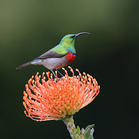 Klein-rooibandsuikerbekkie by Harry Eggens - Animals Birds ( tiny, nikor, colorful, south africa, cape-town, fynbos, southern double-collared sunbird, cinnyris chalybeus, harry eggens, colored, africa, nikon, flower, feisol, animal, orange, sunbird, passerine, colors, camera, male, image, national flower, feathers, lens, coastal, photo, bird, picture, proframe phoyography, protea, tripod, small )