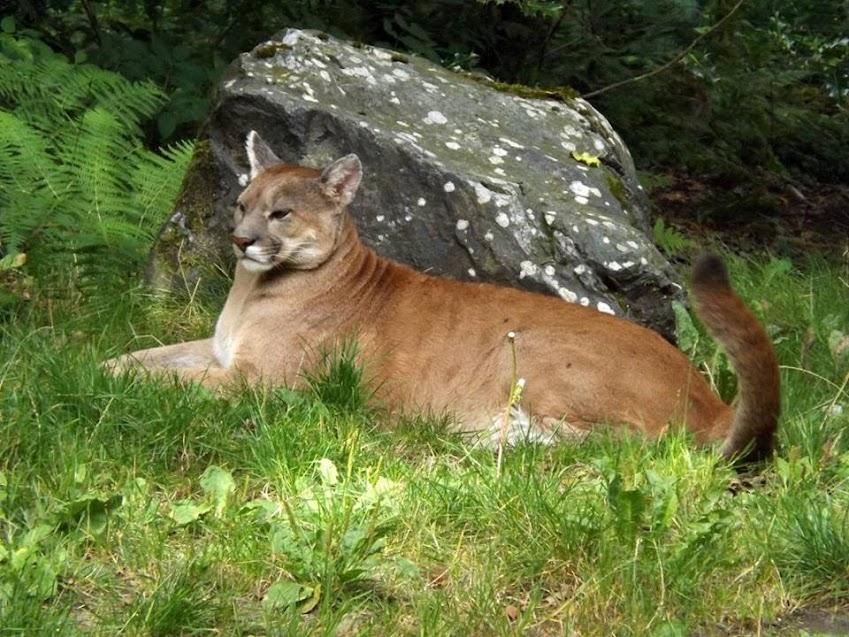 Puma, Jurques - Tous droits réservés