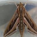 Vine/Silver Striped Hawk-Moth